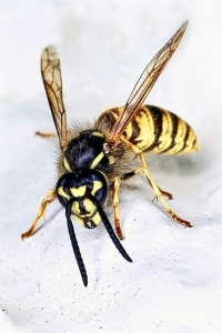 wasp control fishers indiana